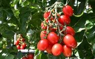 Cà chua chỉnh sửa gien giúp giảm căng thẳng và sợ hãi