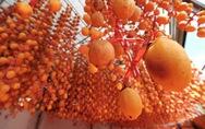 Hồng treo gió ứa mật kiểu Nhật cứu cả ngành hồng Đà Lạt