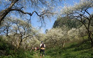Lạc bước 'thiên đường trắng' Mộc Châu mùa hoa mận nở
