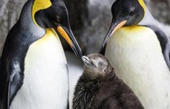 Cặp đôi chim cánh cụt đồng tính gây 'sốt' tại Úc