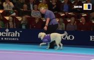 3 chú chó thay thế nhân viên nhặt bóng tại giải đấu tennis ở Anh