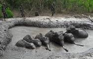 Giải cứu 6 voi con sa chân trong hố bùn