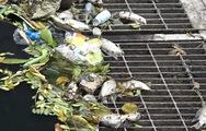 Video: Nước sông Tô Lịch lại đen kịt, cá chết bốc mùi hôi nồng nặc