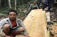 Bắt khẩn cấp đối tượng cưa hạ cây bạch tùng cổ thụ tại Lâm Đồng