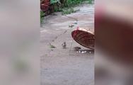Video chim sẻ nhặt mồi từ bẫy chim đút cho bạn ăn