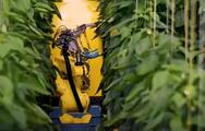 Robot dùng thuật toán xác định độ chín và hái ớt bằng công nghệ tự động
