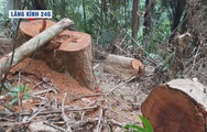 Lăng kính 24g: Gỗ quý thi nhau ngã rạp giữa rừng già