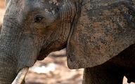 Ông Trump hoãn lệnh nhập khẩu xác voi sau khi bị phản đối
