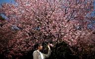 Rực rỡ mùa hoa anh đào Nhật Bản