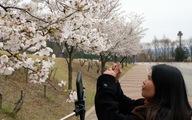 Hoa anh đào nở rợp trời hút hồn giới trẻ Seoul