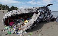Cá nhà táng chết vì nuốt quá nhiều rác nhựa