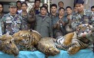 Ở Lào nuôi hổ đem bán dễ như nuôi chó