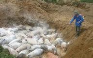 Dịch tả lợn châu Phi lan tới Thanh Hóa, tiêu hủy 226 con lợn bệnh