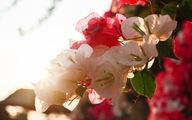 Ngắm hoa giấy bung nở rực rỡ giữa mùa khô Tây Nguyên