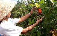Hà Lan sẽ đầu tư 250 triệu USD xây dựng thương hiệu điều Bình Phước