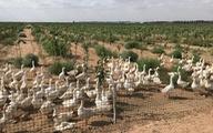 Khu công nghiệp 'cử' 2.000 con ngỗng đi diệt cỏ