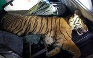 Chở hổ nặng hơn 180kg bằng xe cứu thương