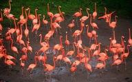 Nguyên nhân chim hồng hạc chỉ đứng bằng một chân