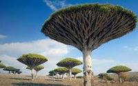 Hòn đảo của những cây máu rồng