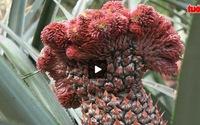 Trái cây độc và lạ tung ra dịp tết Đinh Dậu
