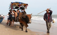 Xem clip du khách đi xe bò ngắmbiển dịp Tết