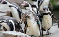 Chile từ chối dự án mỏ sắt 2,5 tỉ USD để bảo vệ chim cánh cụt
