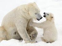 """Ảnh mẹ con gấu Bắc cực """"sưởi ấm trái tim"""""""