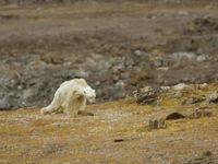 Rơi nước mắt với clip gấu Bắc Cực lục rác tìm thức ăn