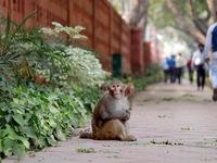 Đàn khỉ hàng nghìn con 'xâm chiếm' Ấn Độ