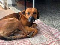 Chủ bị sát hại, chú chó nằm chờ nhiều tháng trước cửa bệnh viện