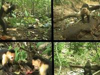 Clip khỉ dùng đá làm công cụ thành thục như người
