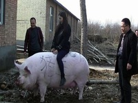 Thiếu thịt, nông dân Trung Quốc vỗ béo heo to như con bò