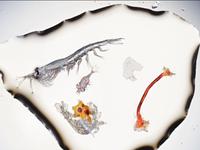 Báo động rác nhựa xuất hiện trong cá con