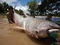 Con người sẽ không còn cơ hội thấy cá khổng lồ trên sông Mekong