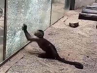 Khỉ dùng đá đập vỡ vách kính nhốt mình