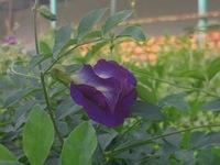 Cuộc thi 'Lan tỏa năng lượng tích cực 2021': Vườn hoa đậu biếc nhà ngoại