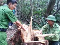 Đã bắt một số nghi phạm phá rừng pơ mu ở Quảng Nam