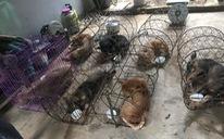Một nhóm 'cẩu tặc' chỉ hơn 8 tháng trộm mấy ngàn con chó