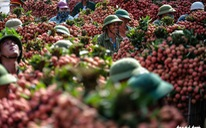 Thủ tướng đồng ý cho 300 thương nhân Trung Quốc sang mua vải thiều Lục Ngạn
