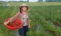 Dân 'cay xè mắt' vì ớt chín đầy ruộng không ai mua