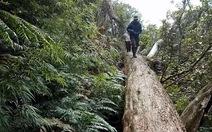 Ai hạ sát rừng pơmu xứ Nghệ?