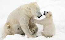 Ảnh mẹ con gấu Bắc cực 'sưởi ấm trái tim'