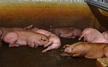 Hàng ngàn con heo bị tiêm thuốc tại lò mổ lớn nhất TP.HCM