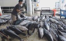 Ngư dân trúng đậm cá ngừ đại dương trước khi cơn bão số 12 đổ bộ