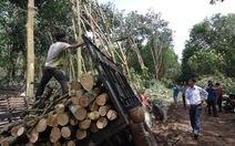 Đóng cửa rừng, giá gỗ cao su tăng kỷ lục