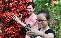 Đi Phú Yên ngắm vườn cây đỏ, ăn trái đỏ chua lè lưỡi