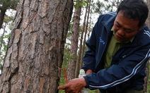 Đổ thuốc diệt cỏ đầu độc 210 cây thông trồng lâu năm
