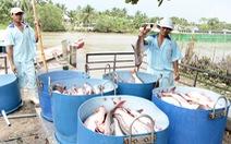 Tăng thuế đột biến, cá tra nguy cơ mất thị trường Mỹ
