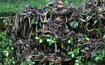 Rùng mình trước đảo rắn độc nhất thế giới ở Brazil