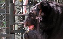 Mang bán 2 chân gấu 'nuôi ở nhà', bị phạt 700 triệu đồng